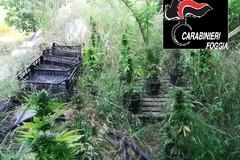 Maxi piantagione di cannabis scoperta dai carabinieri. Ai domiciliari padre e figlio