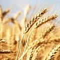 """Aumenta ancora l'import di grano dal Canada. Porto di Bari nuovo  """"granaio d'Italia """""""
