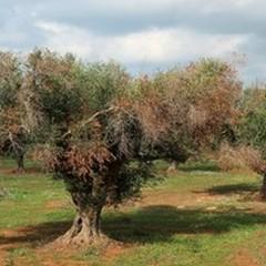 """Trinitapoli tra gli itinerari della  """"Camminata tra gli olivi """""""