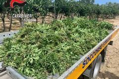 Sequestrata piantagione di cannabis a Trinitapoli, arrestato 49enne