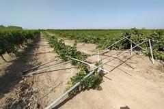 Tendoni di uva da tavola abbattuti nelle campagne di Trinitapoli