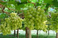 Liberi agricoltori preoccupati: «Il mercato delle uve da vino non va»