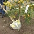 A Trinitapoli un albero di mimosa celebra le donne in prima linea contro il Covid