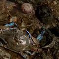 Granchio blu avvistato nell'Ofanto, «Pericolo per la biodiversità»