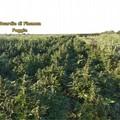 Finanzieri scoprono piantagione di marijuana: avrebbe fruttato 5 milioni di euro
