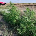 Scoperta vasta piantagione di marijuana, arrestati tre uomini