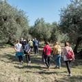 """La  """"Camminata tra gli olivi """" fa tappa a Trinitapoli"""