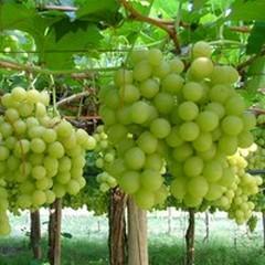 Avviato iter per il riconoscimento del distretto produttivo agroalimentare uva da tavola
